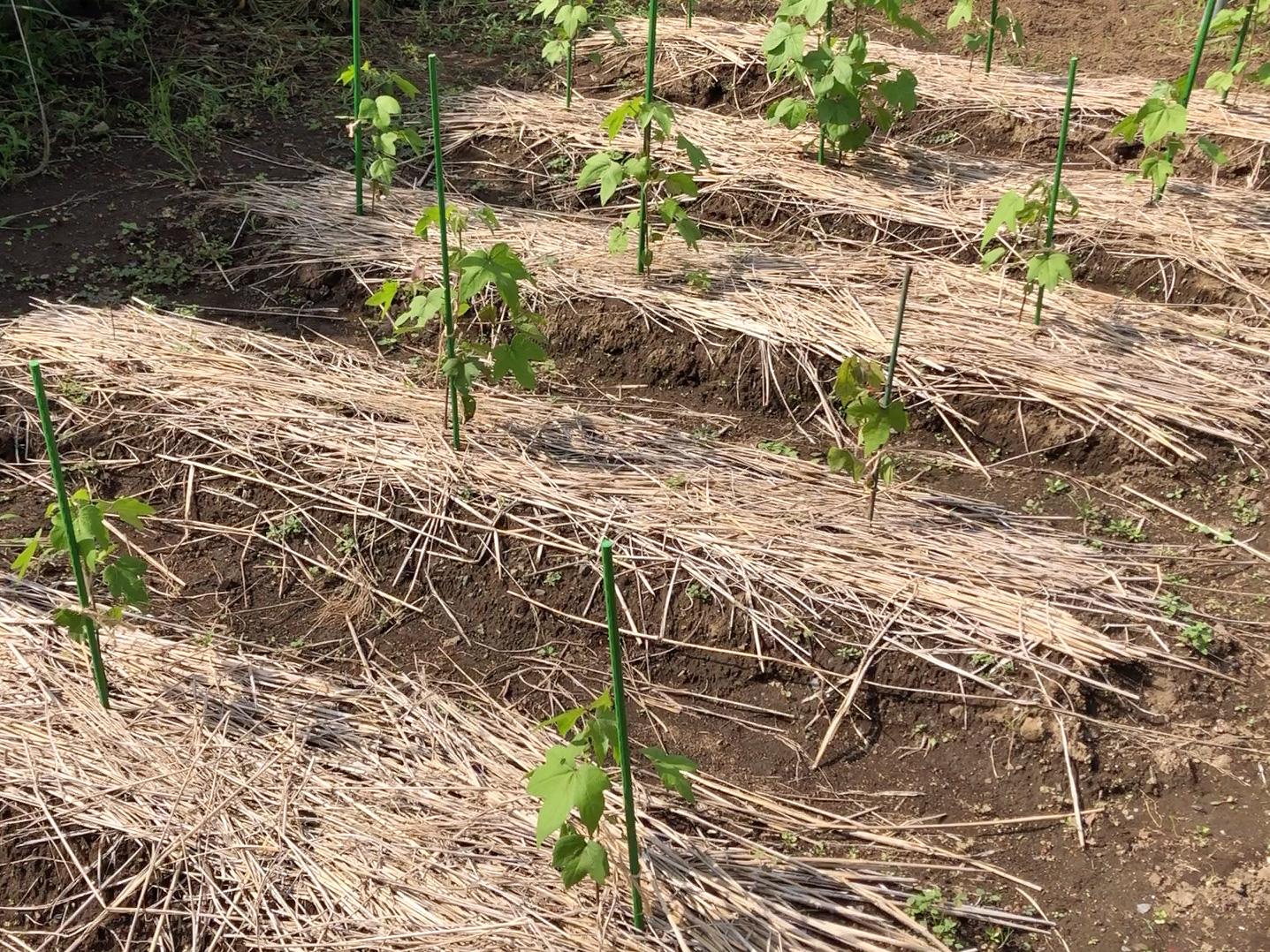 綿を育てる「梅雨の育成管理」